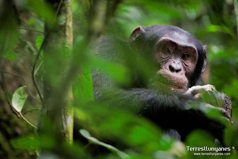Viajes Uganda. Chimpancés. Terres Llunyanes