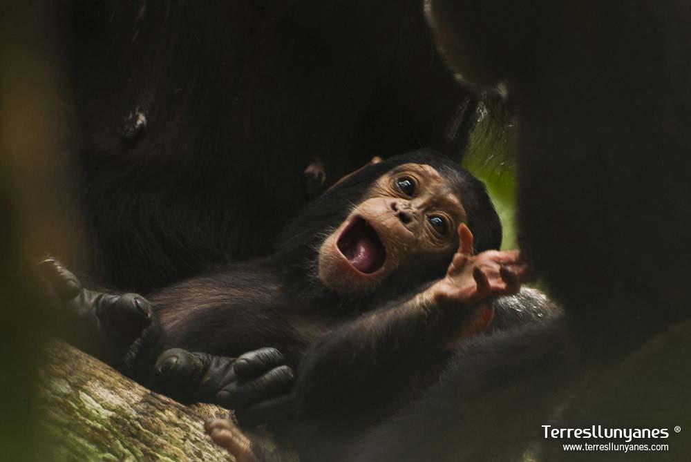 Viajes-uganda-chimpanzes-23
