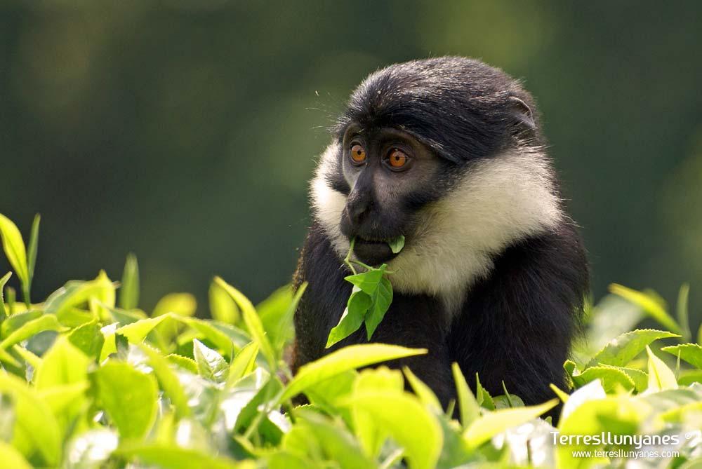 Viajes-uganda-colobus-68