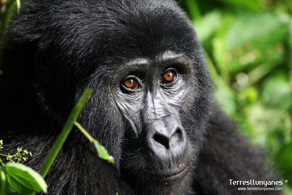 Viajes-uganda-gorilas-18