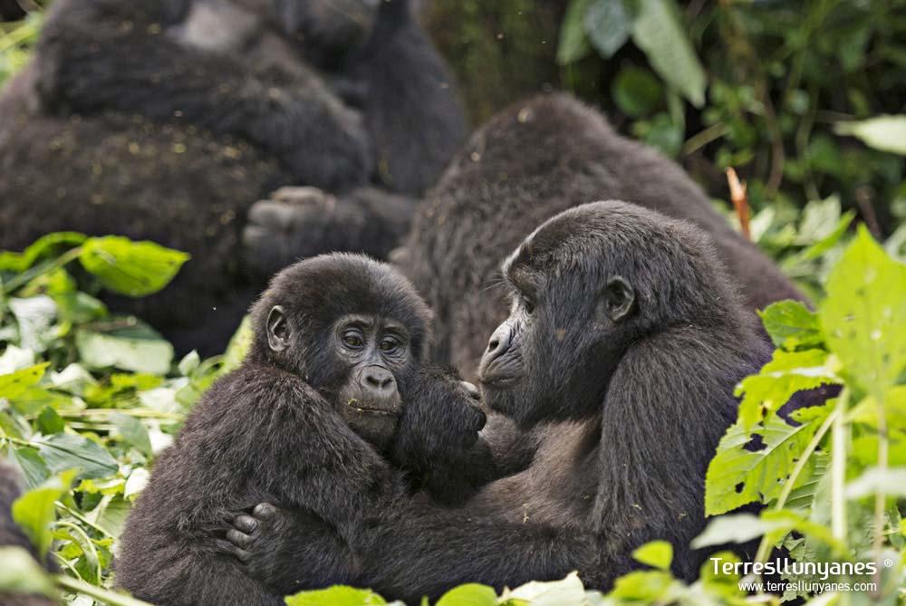 viajes a Uganda. Gorilas. Terres Llunyanes