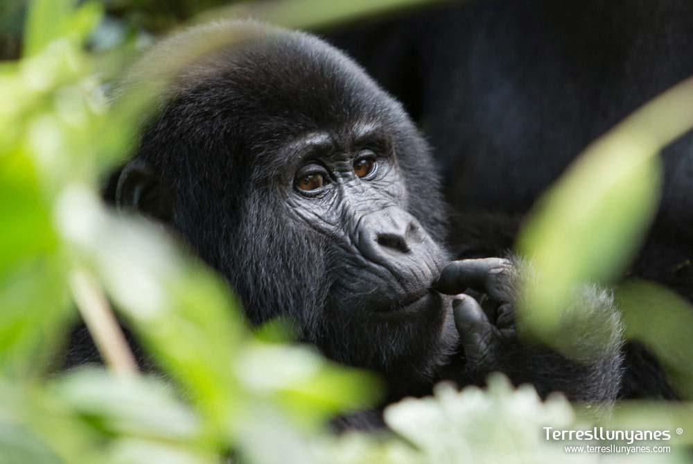 Viajes-uganda-gorilas-21
