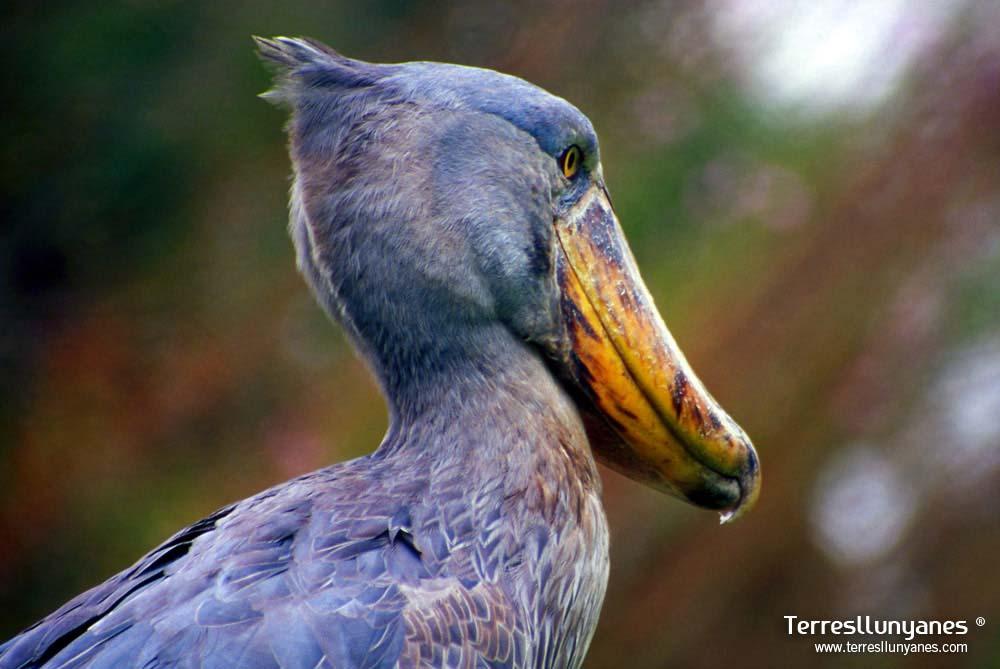 Viajes-uganda-shoebill-01